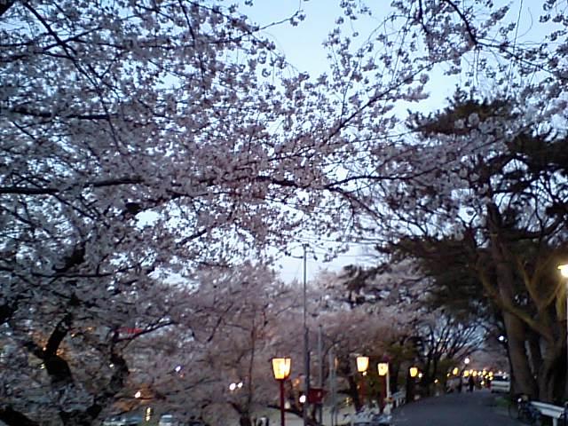 今年も岡崎に花見に生きました。
